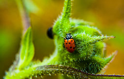 Small red lady bug crawling on hairy plant Royalty Free Stock Image