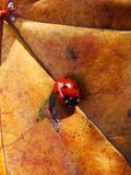 A small red ladybug with black specks on the autumn litter. A small red beetle of a ladybug with black specks on an autumn maple lining Stock Photos