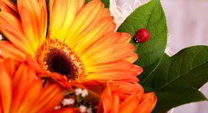 Small red ladybug on leaf next to gerbera bloom Royalty Free Stock Images