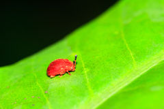 Small red leaf beetle Masoala. Small red leaf beetle (unknown, family Chrysomelidae) in the rainforest of Masoala National Park in Madagascar Stock Images
