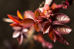 Small red leaves spring from buds Royalty Free Stock Photos