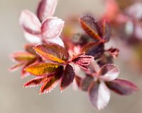 Small red leaves spring from buds Royalty Free Stock Photo