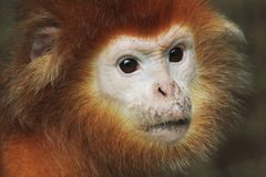 Small red monkey head. With nice face stock photos