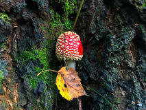 Small red mushroom amanita muscria in the forest. Small red mushroom amanita muscria in the forest stock image