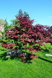 Small red oak tree. Stock Photography