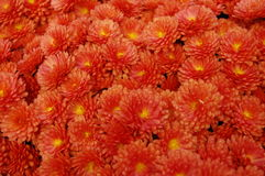 Small Red-Orange Flowers royalty free stock photography