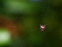 Small red orb weaver spider. A small red garden orb weaver spider in the middle of the web Stock Images