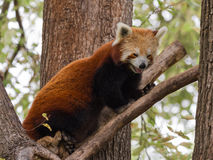 Small red panda Royalty Free Stock Image