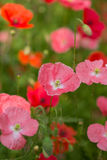 small red poppies Stock Image