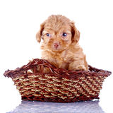 Small red pretty puppy of a decorative doggie in a wattled basket. Royalty Free Stock Photo