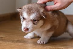 Small red puppy Alaskan Malamute sitting on the floor. Male hand stroking a puppy.  Stock Photography