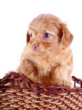 Small red puppy of a decorative doggie in a wattled basket. Royalty Free Stock Images