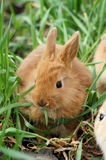 Small red rabbit sit at the grass and has breakfas Royalty Free Stock Photography