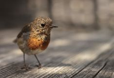 Small red robin sitting on a table half in shadow stock image