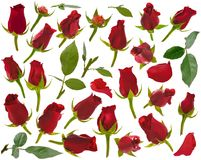 Small red rose buds and leaves and petals at various angles on w Royalty Free Stock Photo