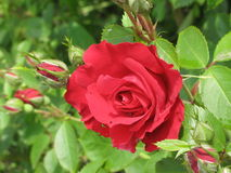 Small red rose Royalty Free Stock Photography
