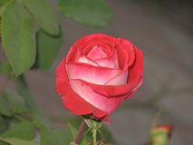 Small red rose Royalty Free Stock Photos