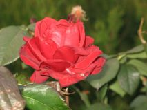 Small red rose Stock Photo