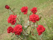 Small red roses Royalty Free Stock Image