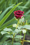 A small red rose on a garden bed Stock Photos