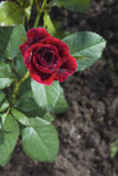 A small red rose on a garden bed Stock Photo