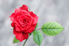 A small red rose. With a green leaf on a grey backgroung Stock Photo