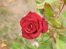 Small red rose Royalty Free Stock Photo
