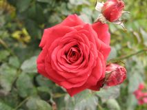Small red rose Stock Photos