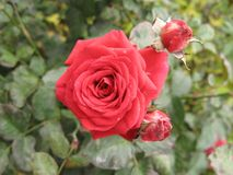Small red rose Stock Images