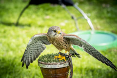 Small red shouldered hawk Stock Photos