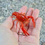 Small red shrimp on hand Stock Photo