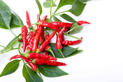 Small red spicy hot chili peppers on plant leaves stock image