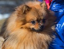 Small red Spitz dog in sits in woman hands. Homely relax. Small red Spitz dog in sits in woman hands. Forever together stock images