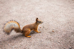 Small red squirrel with peanuts Royalty Free Stock Images