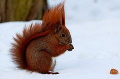 A small red squirrel running on white snow. Adorable little red squirrel running on white snow royalty free stock photography