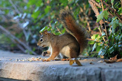 Small Red Squirrel Royalty Free Stock Images