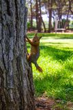 A small red squirrel on a tree trunk against the green grass.Close up royalty free stock photos