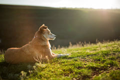 A small red-white dog sitting on a green field, green grass Royalty Free Stock Photography