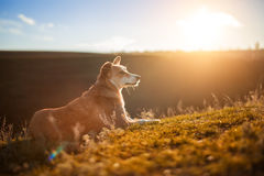 A small red-white dog sitting on a green field, green grass Royalty Free Stock Photos