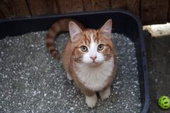 Free Small Red White Kitten Is Sitting In The Litter Box And Looking Up To The Camera Stock Photo - 174195040
