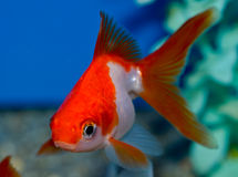 Small Red and white Ryukin goldfish. Young orange and white goldfish in tropical aquarium with blue background. Carassius auratus Royalty Free Stock Photography