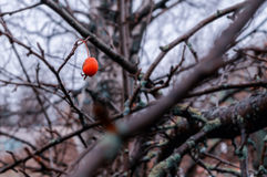Small red wild apple on the blurred background of autumn forest Stock Photo