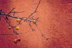 Small red wild paradise apples on an autumn leafless tree branc. Beautiful small red wild paradise apples on an autumn leafless tree branch stock photo