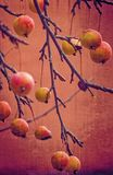 Small red wild paradise apples on an autumn leafless tree branc. Beautiful small red wild paradise apples on an autumn leafless tree branch stock images