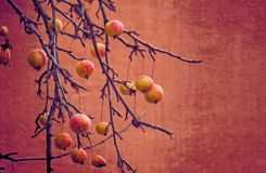 Small red wild paradise apples on an autumn leafless tree branc. Beautiful small red wild paradise apples on an autumn leafless tree branch stock image