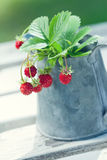Small red wild strawberries Stock Photos