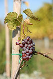Small red wine graves Stock Photography