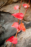 Small red wine leaves Royalty Free Stock Photography