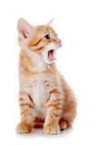 Small a red yawning kitten. Royalty Free Stock Images