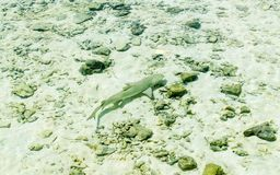 Small reef shark swims in transparent water of Indian ocean. Small reef shark swiming in transparent water of Indian ocean. Small reef sharks manage to overcome stock photo